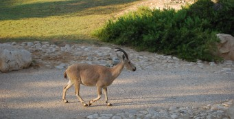 Ibex at Midreshet Ben Gurion